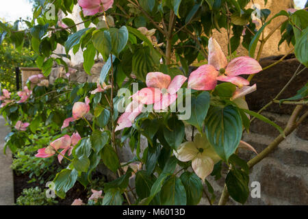 Close-up of pink flowering bracts on dogwood tree with mixed border shrubs & plants in corner of beautiful, private - Stock Photo