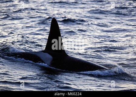Killer Whale on Water Surface, Orcinus orca, Andfjorden, Andoya Island, Norway - Stock Photo