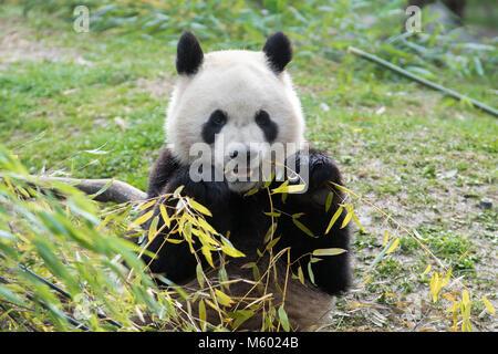Giant male panda eating bamboo leaves - Stock Photo