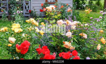 Flower bed of red, yellow, orange roses in the sun after rain on the background of a small wooden house, rural style, - Stock Photo