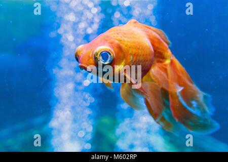 Sad Gold fish in the aquarium with water-bubbles. Carassius auratus - Stock Photo