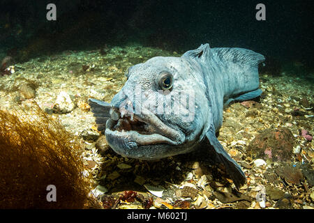 Atlantic Wolffish, Anarhichas lupus, North Atlantic Ocean, Iceland - Stock Photo