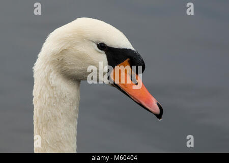 Close up photo of Mute Swan (Cygnus olor) showing the head. Tipperary, Ireland - Stock Photo