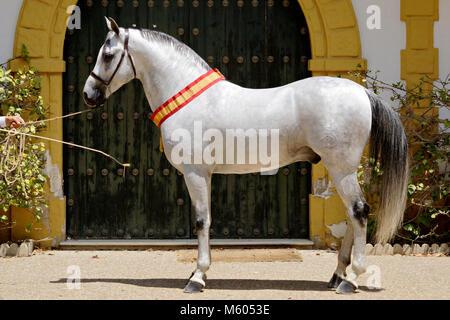 The hispanoarabien horse champion in Jerez horse fair - Stock Photo