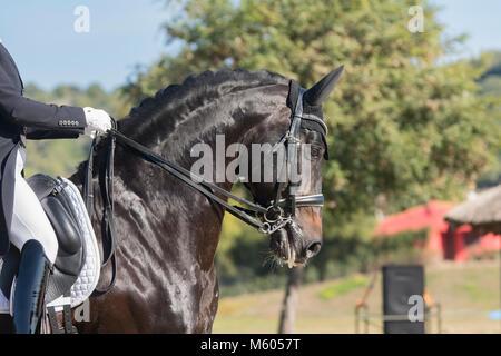 Deutsches Reitpferd stallion in dressage - Stock Photo