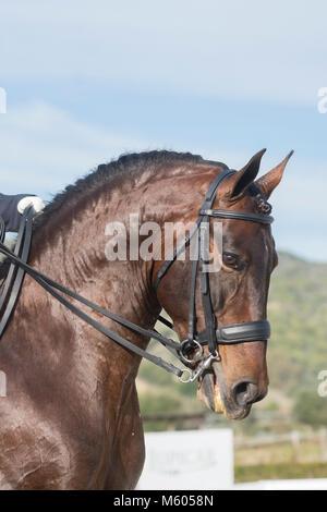 Pure Spanish Horse - Stallion in Dressage - Stock Photo