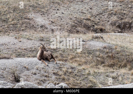 South Dakota.  Badlands National Park.  Bighorn Sheep, Ovis canadensis. Female Bighorn sheep napping in the Badlands. - Stock Photo