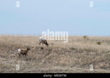 South Dakota.  Badlands National Park.  Bighorn Sheep, Ovis canadensis. Two Bighorn sheep grazing in the Badlands. - Stock Photo