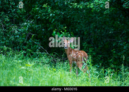 Vadnais Heights, Minnesota. John H. Allison forest.  White-tailed deer, Odocoileus virginianus. Fawn hiding in the - Stock Photo
