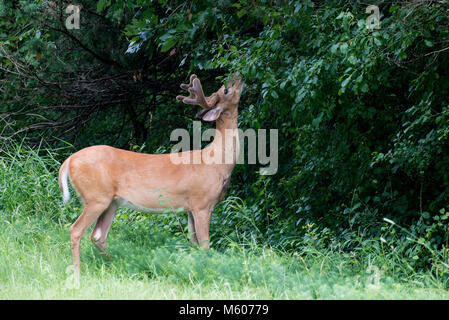Vadnais Heights, Minnesota. John H. Allison forest.  White-tailed deer, Odocoileus virginianus. White-tailed buck - Stock Photo