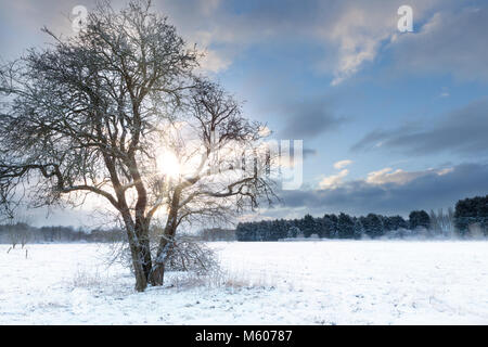 Bare tree in a snow field with early morning sunrise sunlight shining through the landscape. Early morning snow - Stock Photo