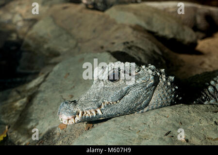 Apple Valley, Minnesota. Minnesota Zoo.  West African Dwarf Crocodile, Osteolaemus tetraspis. - Stock Photo