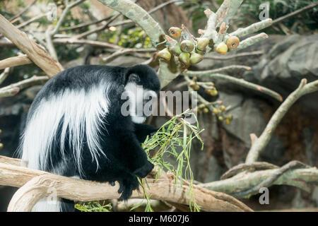 Apple Valley, Minnesota. Minnesota Zoo.  Black and White Colobus Monkey, Colobus guereza. - Stock Photo
