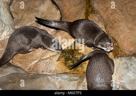 Apple Valley, Minnesota. Minnesota Zoo.  Asian small-clawed otter; Aonyx cinerea. Otters using the toilet after - Stock Photo