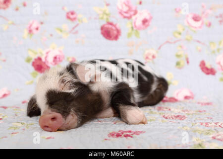 Domestic Pig, Turopolje x ?. Piglet (1 week old) sleeping. Studio picture against a blue background with rose flower - Stock Photo