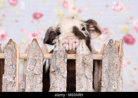 Domestic Pig, Turopolje x ?. Piglet in a small enclosure. Studio picture against a blue background with rose flower - Stock Photo