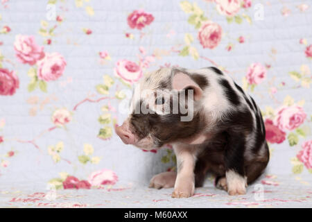 Domestic Pig, Turopolje x ?. Piglet (1 week old) sitting. Studio picture against a blue background with rose flower - Stock Photo