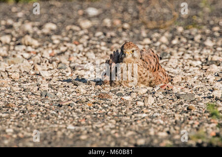 Common Kestrel (Falco tinnunculus). Female taking a sandbath. Germany.. - Stock Photo