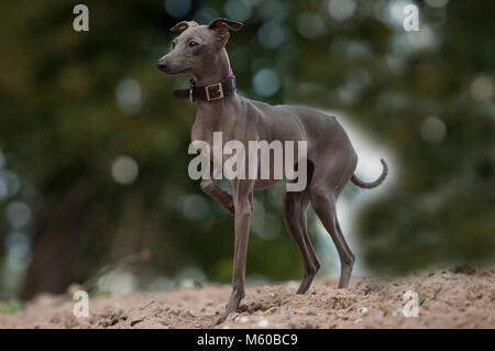 Italian Greyhound. Adult dog standing on sand. Germany - Stock Photo