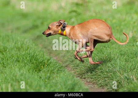 Italian Greyhound. Adult dog running on a meadow. Germany - Stock Photo