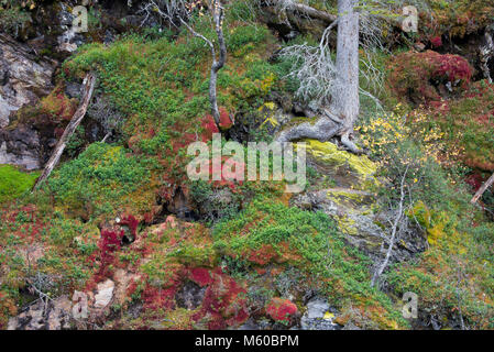 Colorful vegetation in autumn on a rock face. St. Anton am Arlberg, Tyrol, Austria - Stock Photo