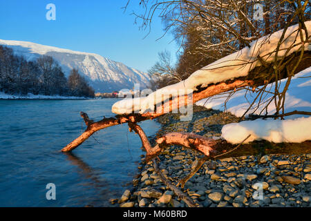 European Beaver (Castor fiber). Tooth marks on a fallen tree. River Inn, Tyrol, Austria. In the background the city - Stock Photo