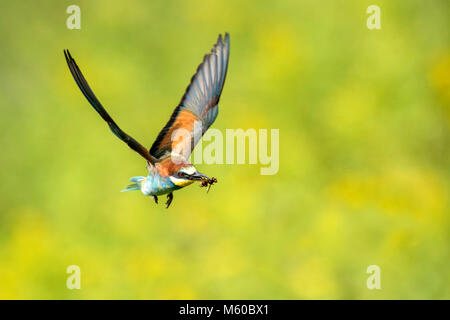 European Bee-eater (Merops apiaster) with prey in flight. Austria - Stock Photo