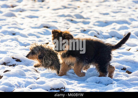 German Shepherd. Long-haired puppy and wire-haired Dachshund walking in snow. Germany - Stock Photo