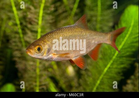 Common Rudd (Scardinius erythrophthalmus) under water. Germany - Stock Photo