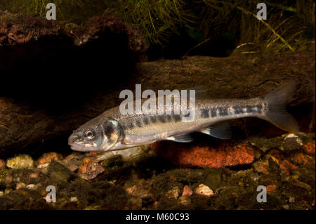 Minnow (Phoxinus phoxinus). Adult fish swimming under water. Germany - Stock Photo
