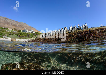 Jackass Penguin, African Penguin (Spheniscus demersus). Group standing on the shore, splitlevel picture. Simons - Stock Photo