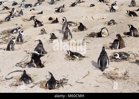 Jackass Penguin, African Penguin (Spheniscus demersus). Breeding colony on a beach. Boulders Beach, South Africa - Stock Photo