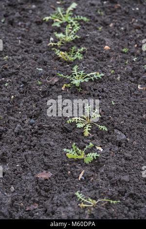 Eruca vesicaria subsp. sativa. Rocket sweet oakleaf seedlings in an english garden in February. UK - Stock Photo