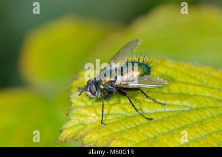 Side view of Green Tachinid Fly (Gymnocheta viridis) in woodland. Tachinidae, Sussex, UK - Stock Photo