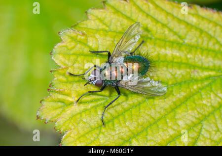 Green Tachinid Fly (Gymnocheta viridis) in woodland. Tachinidae, Sussex, UK - Stock Photo