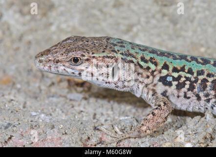 Ruin or Italian Wall Lizard (Podarcis sicula). Lacertidae - Stock Photo