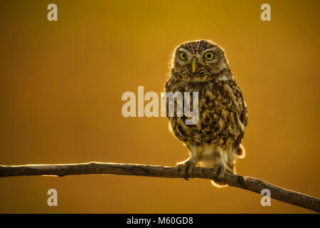 Little Owl - Athene noctua, small beautiful owl from European forest sitting on the branch in nice evening golden - Stock Photo