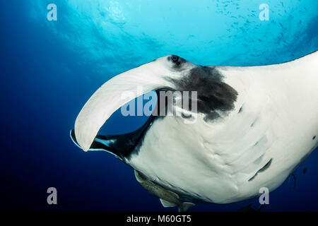 Giant Manta Ray, Manta birostris, San Benedicto Island, Revillagigedo Islands, Mexico - Stock Photo