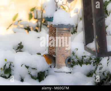 A British robin redbreast - Erithacus rubecula - perched between two hanging garden bird feeders, in fresh winter - Stock Photo