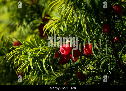Close-up of English Yew berries - Stock Photo