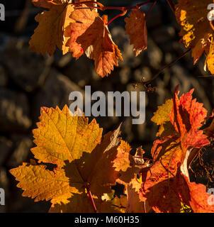Colourful autumn leaves on grape vine near Beira, Alentejo, Portugal - Stock Photo