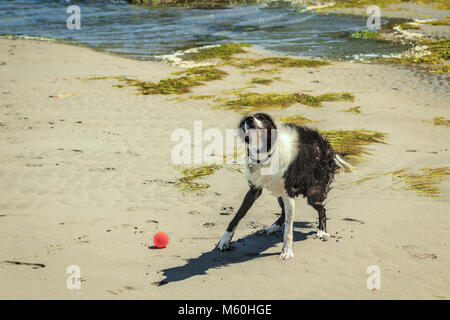 A wet border collie shakes itself dry in a rapid blur of motion, after taking a swim during a game of fetch on a - Stock Photo
