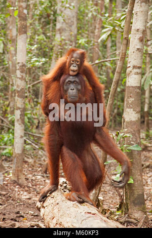 Wild orangutan (Pongo pygmaeus) mother walking through rainforest and carrying baby on her back in Tanjung Putting - Stock Photo