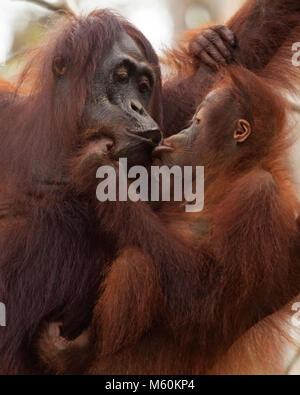 Wild orangutan mother holding baby (Pongo pygmaeus) in Tanjung Puting National Park - Stock Photo