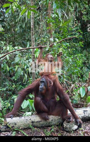 Two year old wild Bornean orangutan (Pongo pygmaeus) standing on mother's head to reach leaves on branch  in Tanjung - Stock Photo