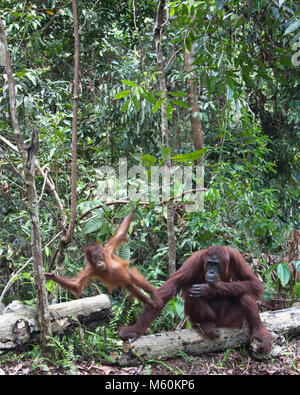 Two year old wild Bornean orangutan (Pongo pygmaeus) standing on mother's arm as she sits on a log in Tanjung Puting - Stock Photo