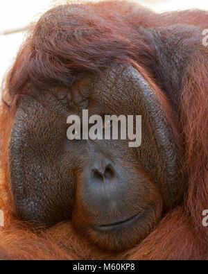 Wild orangutan dominant male (Pongo pygmaeus) in Tanjung Puting National Park - Stock Photo
