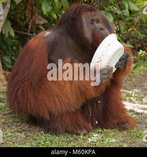Wild orangutan dominant male (Pongo pygmaeus) eating supplemental food provided at Camp Leakey in Tanjung Puting - Stock Photo