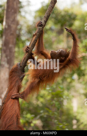 One year old wild Bornean orangutan (Pongo pygmaeus) standing on mother's arm to practice climbing a tree branch - Stock Photo