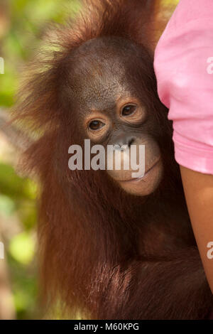 Rescued orphan orangutan on caregiver's back while being carried, Orangutan Care Center - Stock Photo